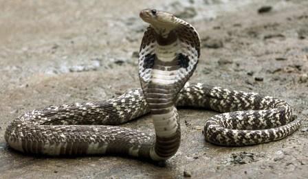 ular kobra di Kloset