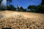 Petani menjemur gabah hasil panen di desa Pekandangan, Indramayu, Jawa Barat, Senin (14/4). Menurut petani, harga gabah saat ini turun dari harga Rp. 480 ribu/ kwintal menjadi Rp. 370 ribu/ kwintal. Penurunan harga tersebut akibat  menurunnya kualitas gabah yang tak berisi saat musim hujan seperti saat ini. ANTARA FOTO/Dedhez Anggara/Koz/pd/14.