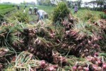 62 ha Lahan Tanaman Bawang Merah