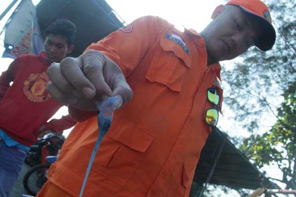Ubur-ubur api di Kulonprogo