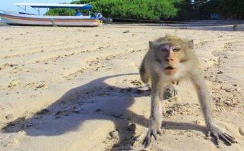monyet ekor panjang di Gunungkidul