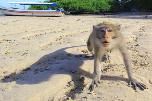monyet Saptosari