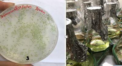 Mikroalga UGM