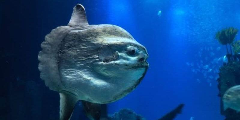 ikan mola-mola raksasa