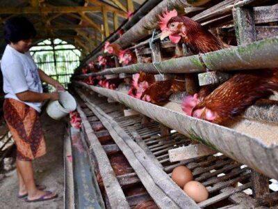 Gama Ayam