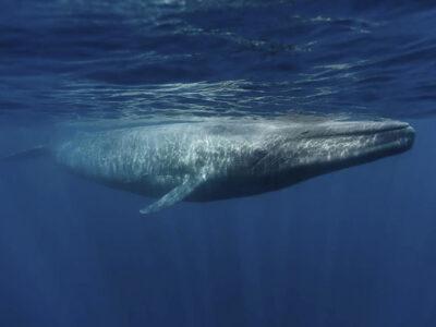paus biru Antartika
