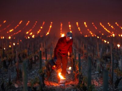 lilin tanaman anggur